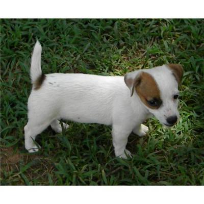 Super sano Jack Russell Terrier