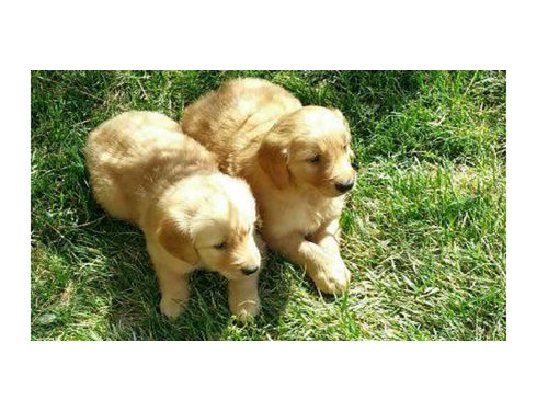 CACHORROS GOLDEN RETRIEVER,