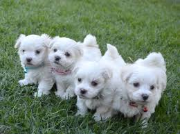 Maltese Puppies disponibles