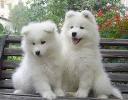 Perritos del samoyedo regalo Thoroughbred AKC