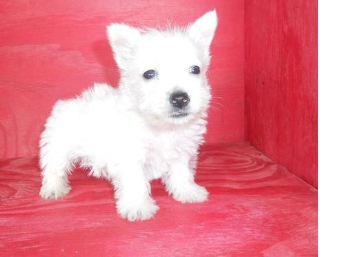 West Highland White Terrier cachorros