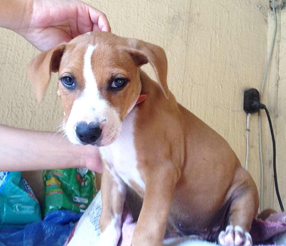 CAHORRO AMERICAN STAFFORDSHIRE TERRIER