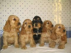 Cocker Spaniel ingles CACHORROS