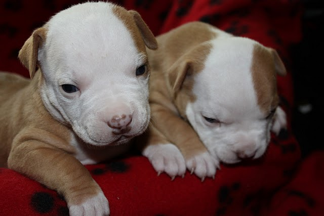 Se regalan cachorros pitbull adorable