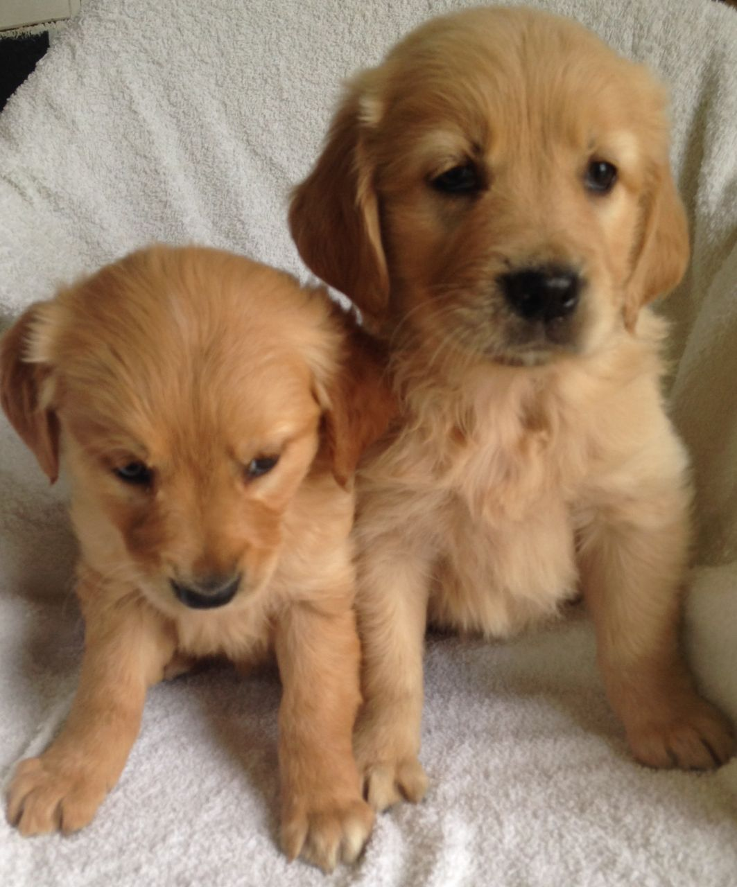 Pura Raza Cachorros Golden Retriever