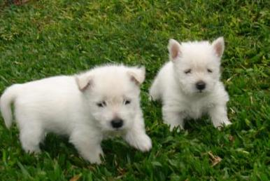Regalo,Cachorros West Highland terrie