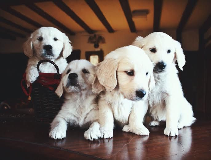 Kc registrados Golden retriever cachorros