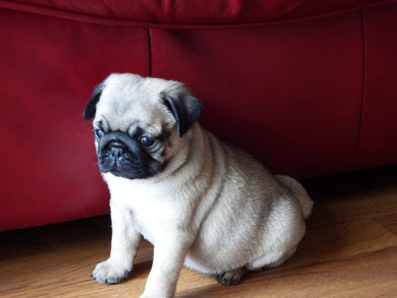 Pug ... kc Top registrada Calidad Pedigree Cachorro