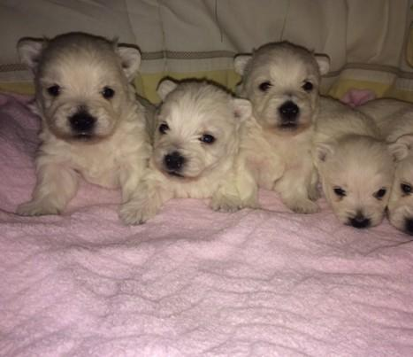 5 hermosa West Highland White Terrier