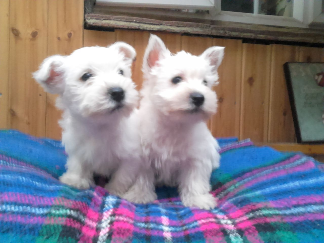 Regalo West Highland terrier cachorros